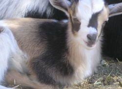 nigerian goats for sale in nm