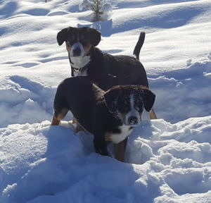 Entlebucher Swiss Mountain Dog puppies for sale in NM