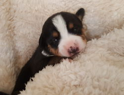 Entlebucher Swiss Mountain Cattle dogs for sale in NM