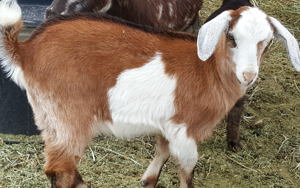 Nubian mini goats for sale in nm