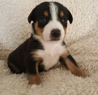Entlebucher mountain dog pups for sale in NM