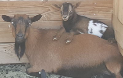 Mini Nubian goats for sale in nm