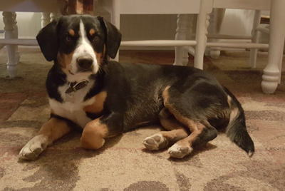 Entlebucher swiss mountain dogs for sale in NM