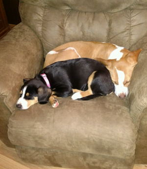 Entlebucher puppies for sale in NM