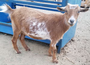 Nigerian Dward dairy goats for sale in NM