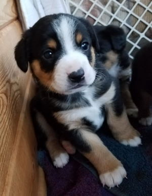 Entlebucher swiss mountain puppies for sale in NM