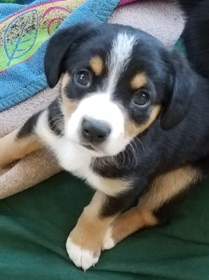 Entlebucher pups for sale in NM
