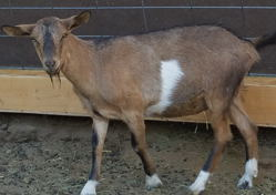 Mini Dairy goats for sale in NM