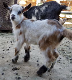 Registered Nigerian Dwarf dairy goats for sale in NM