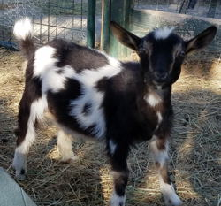 Nigerian Dwarf dairy goats for sale in NM