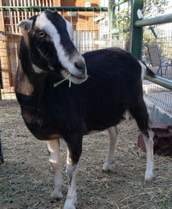 Miniature horses for sale in nm